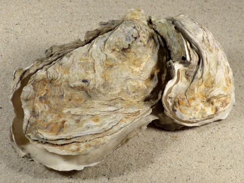 Crassostrea gigas DE-North Sea 12,7cm *cluster*
