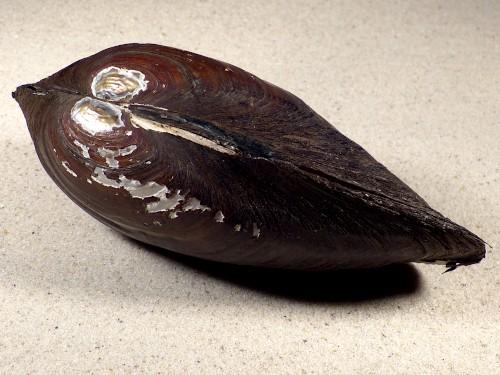 Anodonta cygnea f. zellensis NL 14,6cm *Unikat*