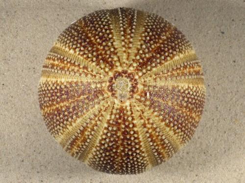 Echinus esculentus UK 10,9cm *Unikat*