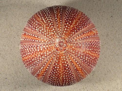 Echinus esculentus UK 11,1cm *Unikat*