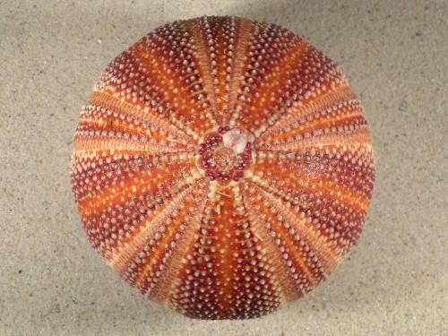 Echinus esculentus UK 11cm *Unikat*