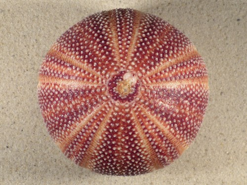 Echinus esculentus UK 10,6cm *unique*