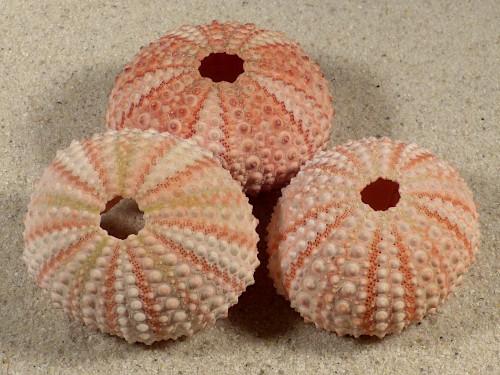 Echinometra mathaei *red* PH 4,5+cm