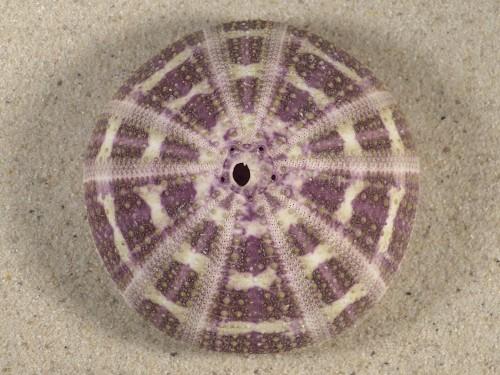Toxopneustes pileolus PH 7,9cm *Unikat*