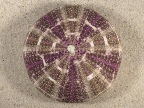 Toxopneustes pileolus PH 8,2cm *Unikat*