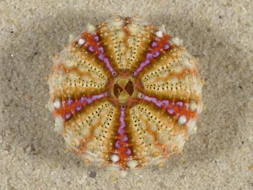 Coelopleurus maculatus PH 3cm *Unikat*