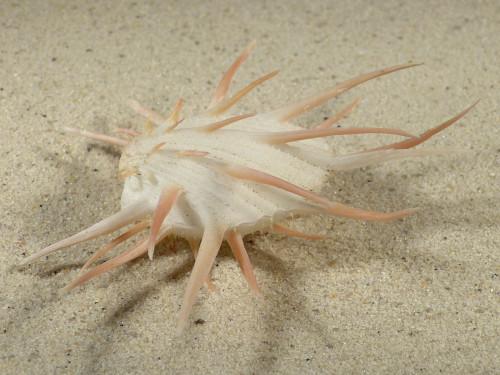 Spondylus imperialis PH 11,3cm *Unikat*