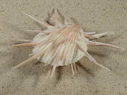 Spondylus imperialis PH 10,4cm *Unikat*