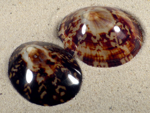 Cellana testudinaria poliert 6+cm