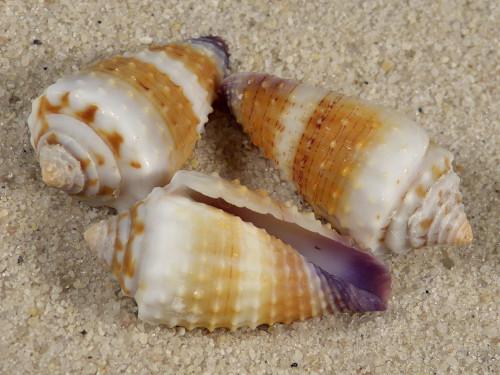 Conus floridulus PH 2,5+cm