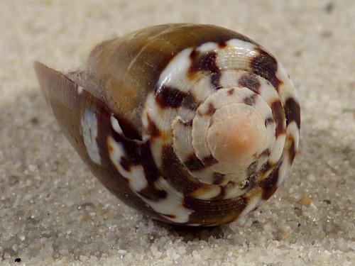 Conus magus m/O PH 3,4cm *Unikat*