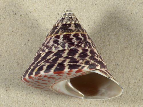 Tectus niloticus PH 8,8cm *Unikat*