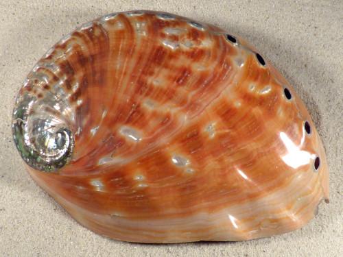 Haliotis rufescens poliert *extra* MX 19,5 cm *Unikat*