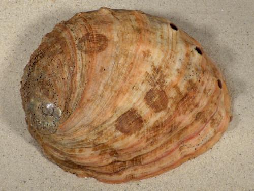 Haliotis rufescens MX 18cm *Unikat*