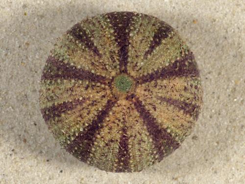 Tripneustes gratilla *farbig* PH 4,9cm *Unikat*