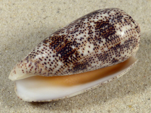 Conus stercusmuscarum PH 6,1cm *Unikat*