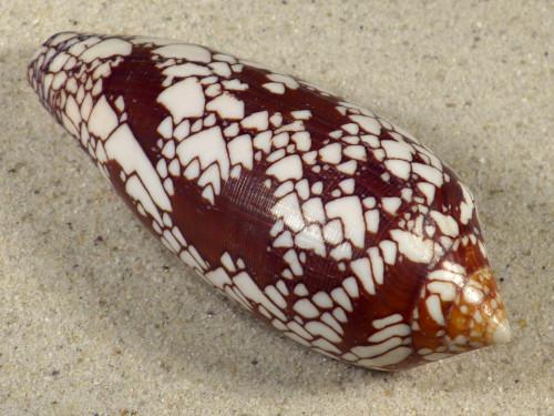 Conus aulicus PH 10,4cm *Unikat*
