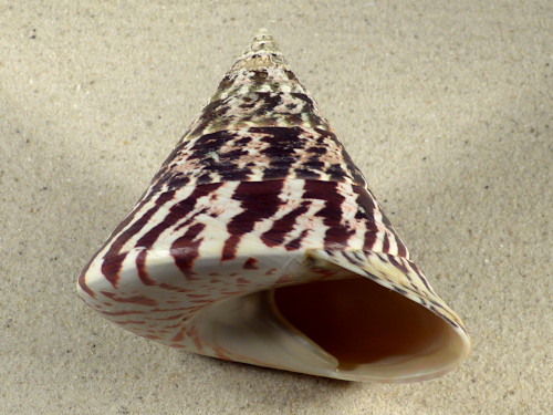 Tectus niloticus PH 10cm *Unikat*