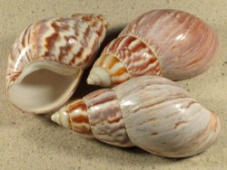 2,0-2,4 - Achatina fulica polished