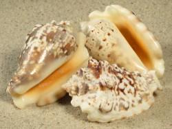 Strombus lentiginosus 5+cm