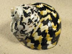 Cittarium pica poliert 7,5+cm