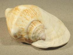 Sinustrombus latissimus 12+cm