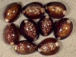 Cypraea caputserpentis PH 2,5+cm
