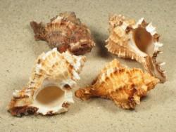 Phyllonotus pomum 7+cm