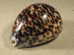 Kaurischnecke Cypraea tigris 7+cm