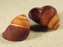 Phoenicobius aratus 3+cm