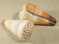 Conus distans PH 7,5+cm