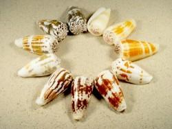 Conus magus 5+cm