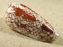 Conus omaria 5+cm