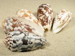 Conus striatus 6,5+cm