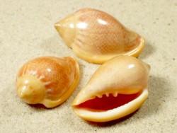 Marginella irrorata 3,5+cm