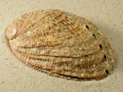 Abalone-Art Haliotis tuberculata tuberculata FR-Atlantik 9+cm