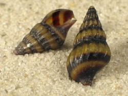 Clea helena 1,5cm