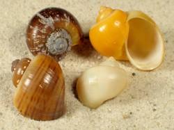 Pomacea diffusa 2+cm (x3)