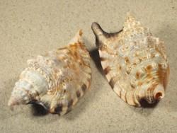 Euprotomus aratrum PH 6,5+cm