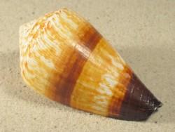 Conus miles 7+cm