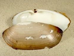Lutraria lutraria FR-Atlantik 9+cm