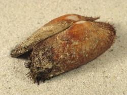 Barbatia barbata HR 3,5+cm