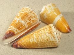 Conus thalassiarchus azona 5,5+cm