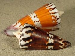 Conus generalis 4,5+cm