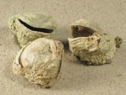 Pseudochama gryphina HR 1,5+cm