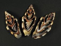 Vexillum rugosum Gehäuseschnitt 3+cm