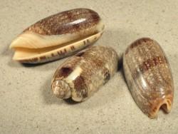 Oliva sericea 5,4+cm