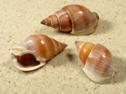 Nassarius canaliculatus IN 2,5+cm