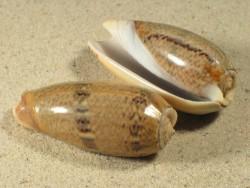 Oliva funebralis 4,5+cm