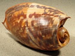 Cymbium marmoratum SN 12+cm